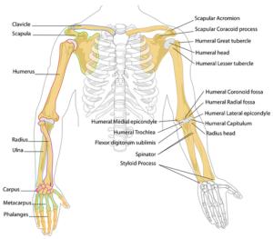 Human Body Bones
